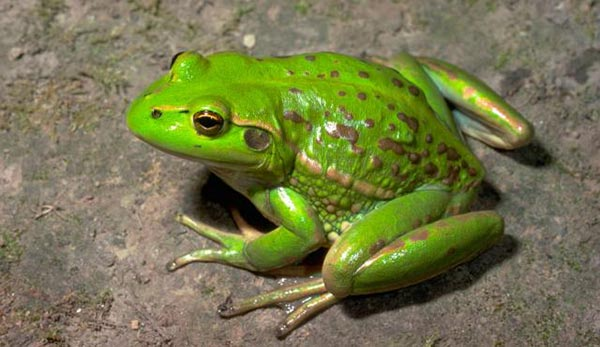 Advanced-Group-Frog-fencing-Growling-Grass-Frog-1