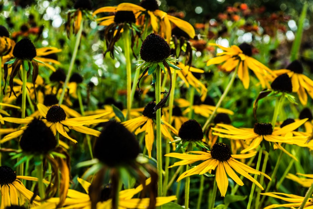 Floral photography of some sun flowers at Eaton Park in Norwich, Norfolk by P Carver Photography