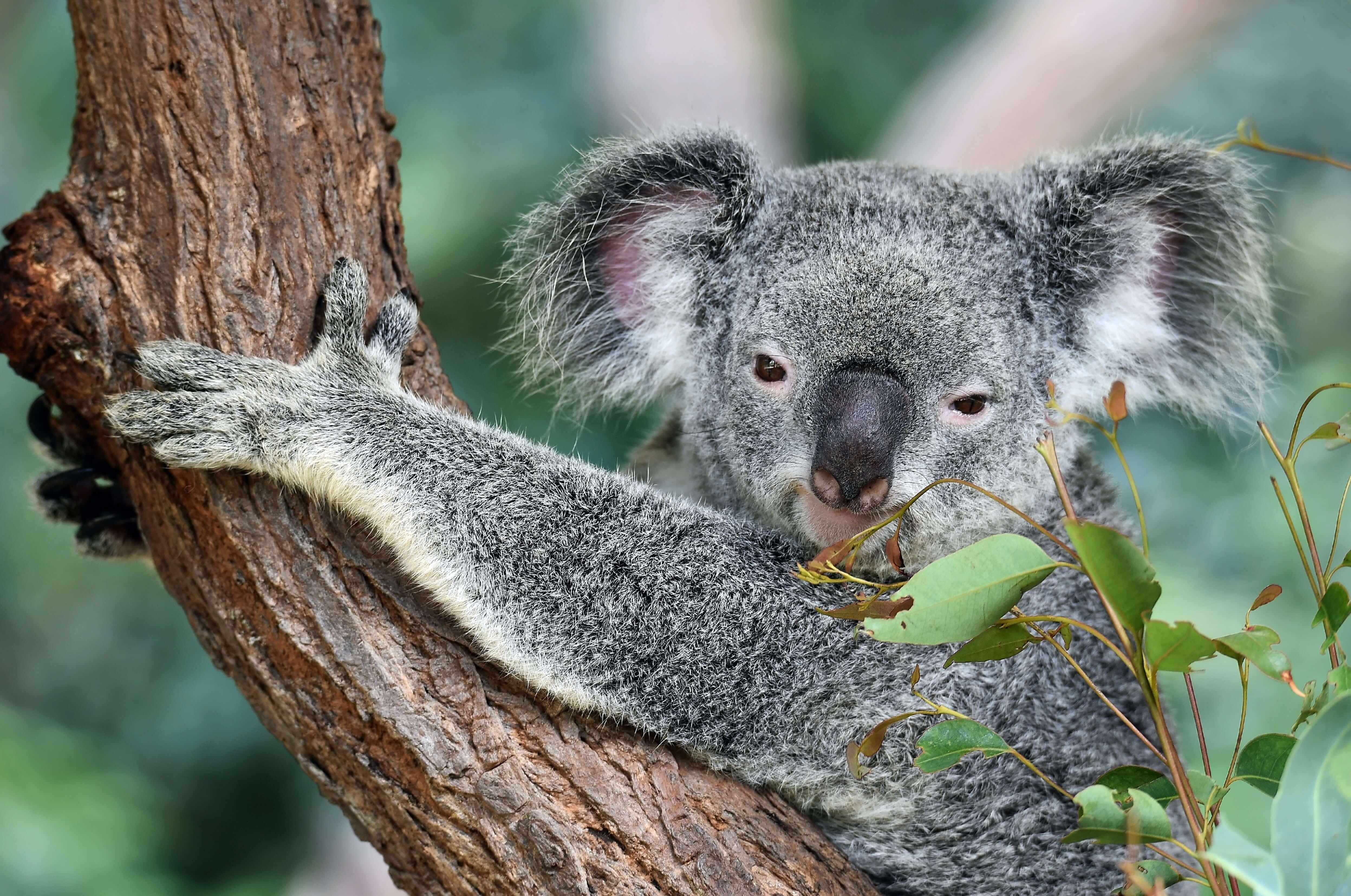 Advanced-Group-Koala-Fencing-22